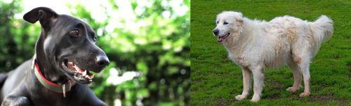 Shepard Labrador vs Abruzzenhund