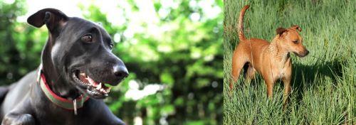 Shepard Labrador vs Africanis