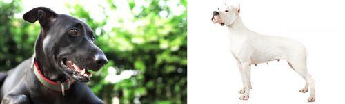 Shepard Labrador vs Argentine Dogo
