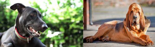 Shepard Labrador vs Bloodhound