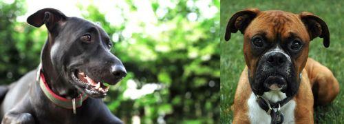Shepard Labrador vs Boxer