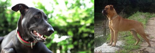 Shepard Labrador vs Bullmastiff