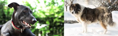 Shepard Labrador vs Caucasian Shepherd