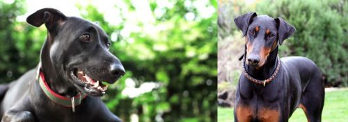 Shepard Labrador vs Doberman Pinscher