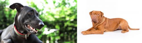 Shepard Labrador vs Dogue De Bordeaux