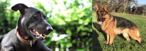 Shepard Labrador vs German Shepherd