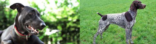 Shepard Labrador vs German Shorthaired Pointer