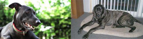 Shepard Labrador vs Giant Maso Mastiff