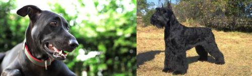 Shepard Labrador vs Giant Schnauzer
