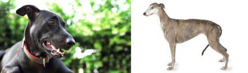Shepard Labrador vs Greyhound