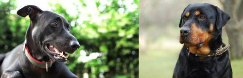 Shepard Labrador vs Rottweiler