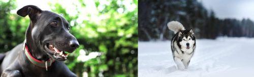 Shepard Labrador vs Siberian Husky