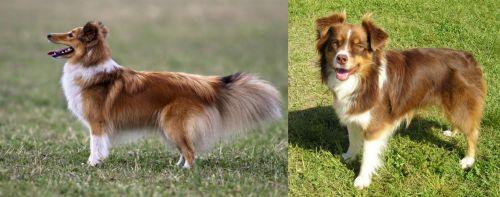 Shetland Sheepdog vs Miniature Australian Shepherd
