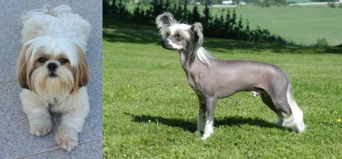 Shih Tzu vs Chinese Crested Dog