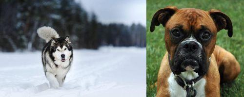 Siberian Husky vs Boxer
