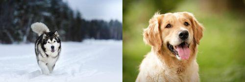 Siberian Husky vs Golden Retriever