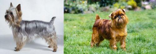 Silky Terrier vs Brussels Griffon
