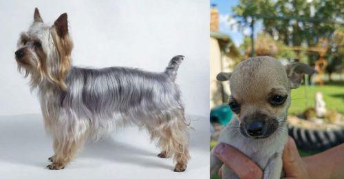 Silky Terrier vs Chihuahua