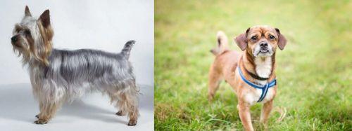 Silky Terrier vs Chug