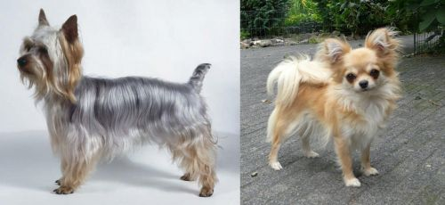 Silky Terrier vs Long Haired Chihuahua