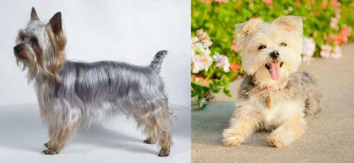 Silky Terrier vs Morkie