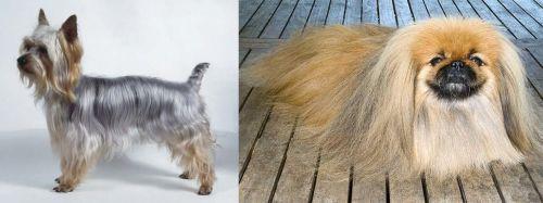 Silky Terrier vs Pekingese