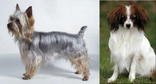 Silky Terrier vs Phalene