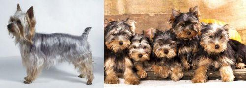 Silky Terrier vs Yorkshire Terrier