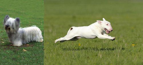 Skye Terrier vs Bull Terrier