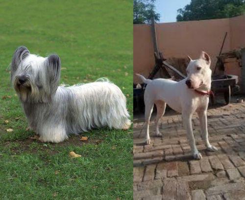 Skye Terrier vs Indian Bull Terrier