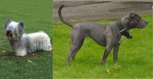 Skye Terrier vs Irish Bull Terrier