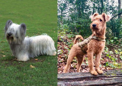 Skye Terrier vs Irish Terrier