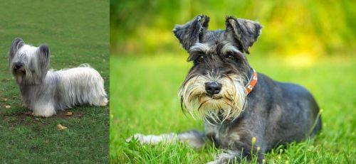 Skye Terrier vs Schnauzer