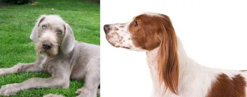 Slovakian Rough Haired Pointer vs Irish Red and White Setter