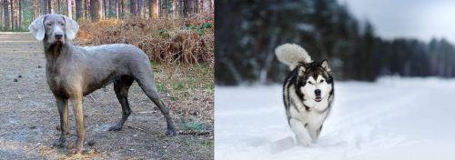 Slovensky Hrubosrsty Stavac vs Siberian Husky