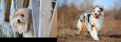 Smithfield vs Australian Shepherd