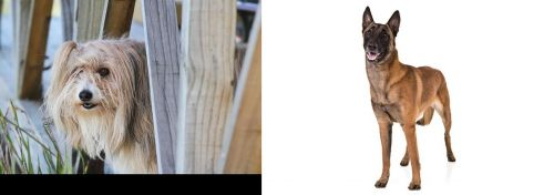Smithfield vs Belgian Shepherd Dog (Malinois)