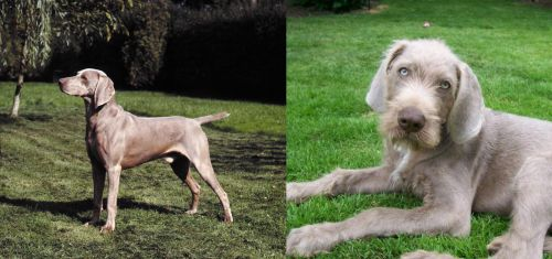 Smooth Haired Weimaraner vs Slovakian Rough Haired Pointer