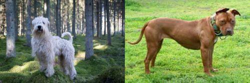 Soft-Coated Wheaten Terrier vs American Pit Bull Terrier