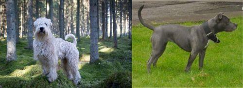 Soft-Coated Wheaten Terrier vs Irish Bull Terrier