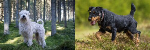 Soft-Coated Wheaten Terrier vs Jagdterrier