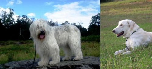 South Russian Ovcharka vs Akbash Dog