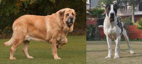 Spanish Mastiff vs Alangu Mastiff