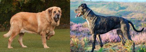 Spanish Mastiff vs Alaunt