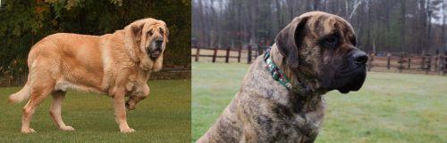 Spanish Mastiff vs American Mastiff