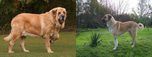 Spanish Mastiff vs Anatolian Shepherd