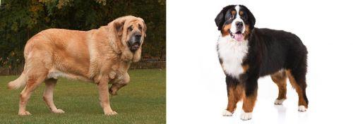 Spanish Mastiff vs Bernese Mountain Dog