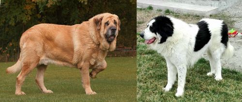 Spanish Mastiff vs Ciobanesc de Bucovina