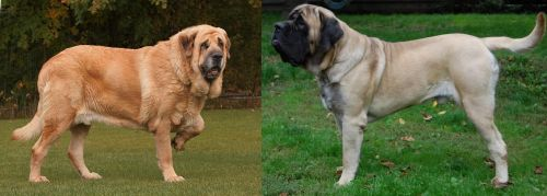 Spanish Mastiff vs English Mastiff