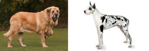 Spanish Mastiff vs Great Dane